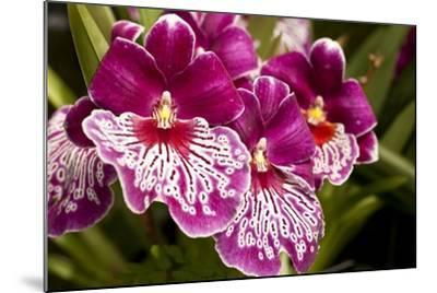 Purple Butterfly Orchids-Richard T. Nowitz-Mounted Photographic Print