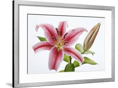 Stargazer Lily-Martin Harvey-Framed Photographic Print