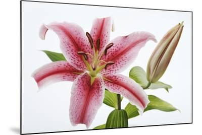 Stargazer Lily-Martin Harvey-Mounted Photographic Print