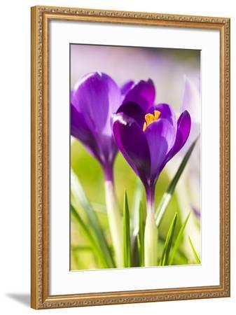 Pink Crocus Flowers-Frank Lukasseck-Framed Photographic Print