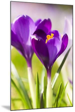 Pink Crocus Flowers-Frank Lukasseck-Mounted Photographic Print