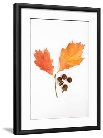 Oak Leaves and Acorns-Frank Lukasseck-Framed Photographic Print