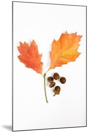 Oak Leaves and Acorns-Frank Lukasseck-Mounted Photographic Print