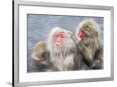Japanese Macaques in Hot Spring-Frank Lukasseck-Framed Photographic Print