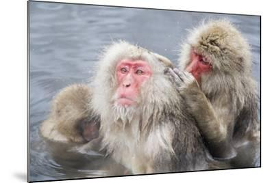 Japanese Macaques in Hot Spring-Frank Lukasseck-Mounted Photographic Print