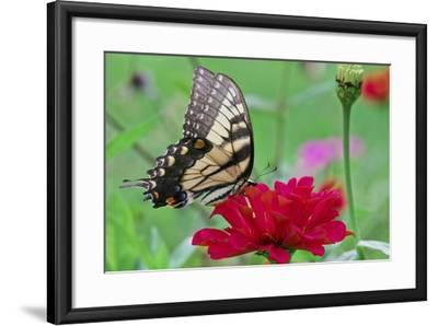 Swallowtail Butterfly Resting on Flower Bud-Gary Carter-Framed Photographic Print