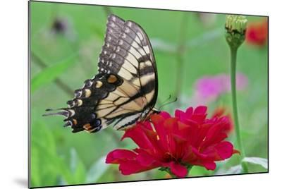 Swallowtail Butterfly Resting on Flower Bud-Gary Carter-Mounted Photographic Print