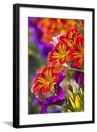 Salpiglossis Flowers in Full Bloom-Terry Eggers-Framed Photographic Print