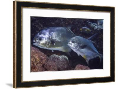 Pair of Permit (Trachinotus Falcatus)-Stephen Frink-Framed Photographic Print