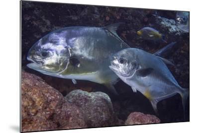 Pair of Permit (Trachinotus Falcatus)-Stephen Frink-Mounted Photographic Print