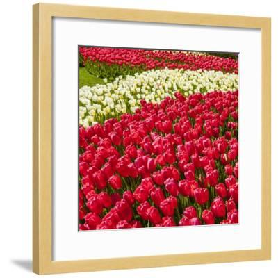 Red Tulip in Bloom-Richard T. Nowitz-Framed Photographic Print