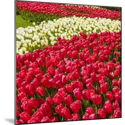 Red Tulip in Bloom-Richard T. Nowitz-Mounted Photographic Print