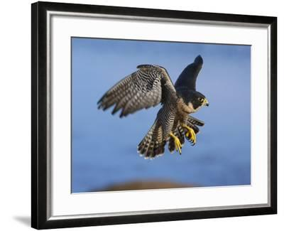 Peregrine Falcon in Flight-W^ Perry Conway-Framed Photographic Print