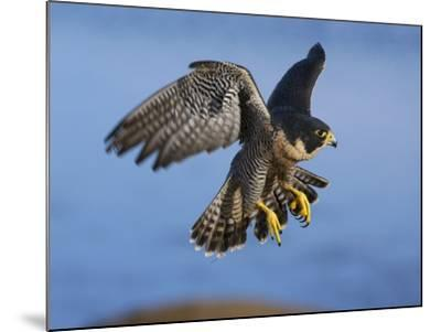 Peregrine Falcon in Flight-W^ Perry Conway-Mounted Photographic Print