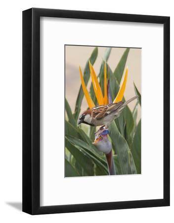 House Sparrow on Bird of Paradise-Hal Beral-Framed Photographic Print