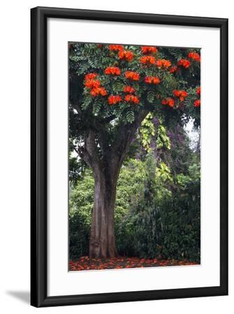 African Tulip Tree Growing on Oahu Island-Terry Eggers-Framed Photographic Print