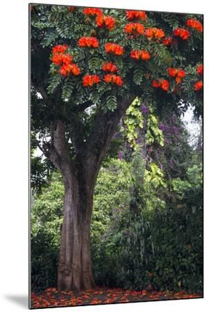 African Tulip Tree Growing on Oahu Island-Terry Eggers-Mounted Photographic Print