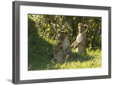 Africa Lion Cubs Playing-Mary Ann McDonald-Framed Photographic Print
