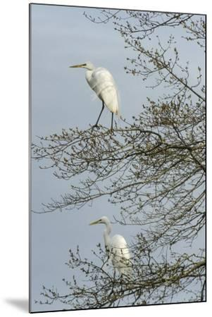 Egret-Gary Carter-Mounted Photographic Print
