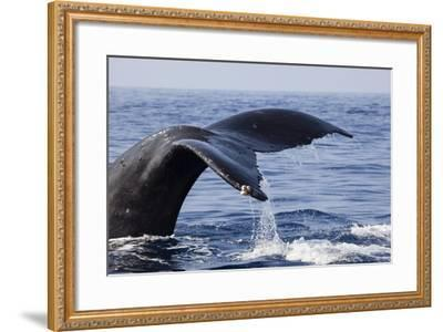 Humpback Whale Tail-Michele Westmorland-Framed Photographic Print