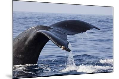 Humpback Whale Tail-Michele Westmorland-Mounted Photographic Print
