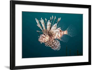 Lionfish-Michele Westmorland-Framed Photographic Print