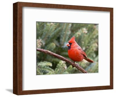 Northern Cardinal Perching on Branch, Mcleansville, North Carolina, USA-Gary Carter-Framed Photographic Print