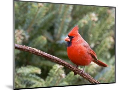 Northern Cardinal Perching on Branch, Mcleansville, North Carolina, USA-Gary Carter-Mounted Photographic Print