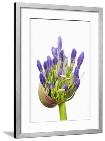 Lily of the Nile Bud-Frank Krahmer-Framed Photographic Print