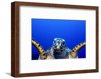 Green Turtle (Chelonia Mydas)-Stephen Frink-Framed Photographic Print