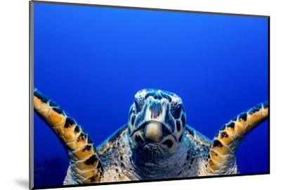 Green Turtle (Chelonia Mydas)-Stephen Frink-Mounted Photographic Print
