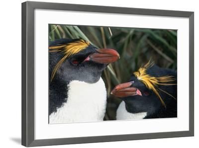 Pair of Nesting Macaroni Penguins-W^ Perry Conway-Framed Photographic Print