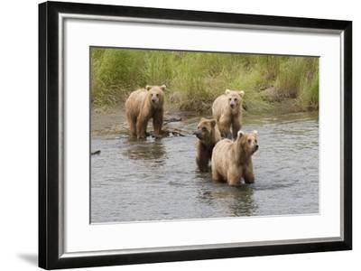 Brown(Grizzly) Bear Mother and Two Year Old Cubs-Hal Beral-Framed Photographic Print