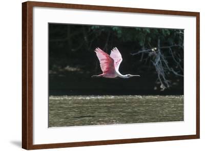 Roseate Spoonbill (Platalea Ajaja)-Sergio Pitamitz-Framed Photographic Print