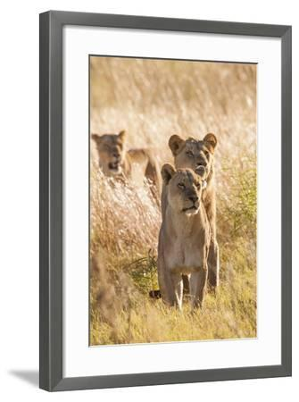 African Lionesses-Michele Westmorland-Framed Photographic Print