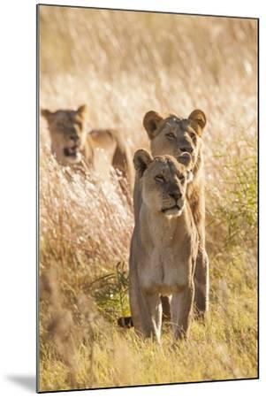 African Lionesses-Michele Westmorland-Mounted Photographic Print