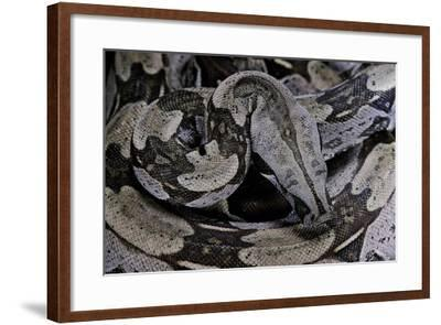 Boa Constrictor Constrictor-Paul Starosta-Framed Photographic Print