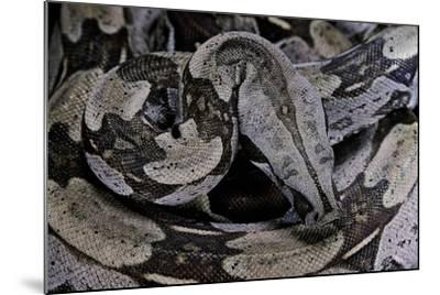 Boa Constrictor Constrictor-Paul Starosta-Mounted Photographic Print
