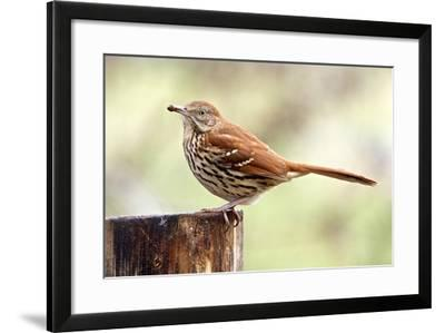 Brown Thrasher Standing on Tree Stump, Mcleansville, North Carolina, USA-Gary Carter-Framed Photographic Print
