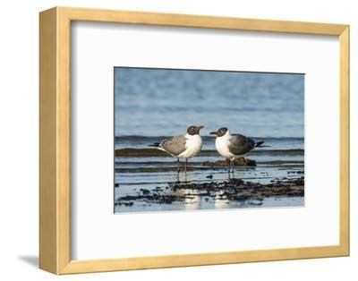 View of Laughing Gull Standing in Water-Gary Carter-Framed Photographic Print