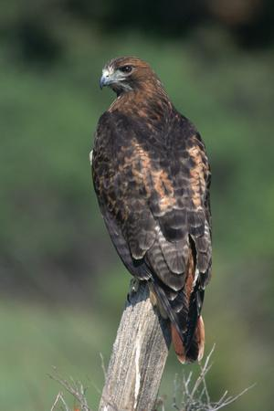 Red-Tailed Hawk Perches on Post-W^ Perry Conway-Photographic Print
