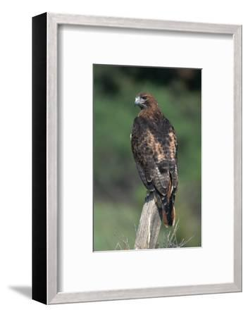 Red-Tailed Hawk Perches on Post-W^ Perry Conway-Framed Photographic Print