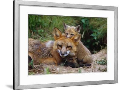 Mother Red Fox and Pups-W^ Perry Conway-Framed Photographic Print