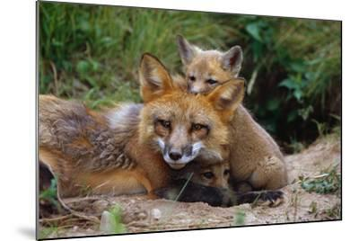 Mother Red Fox and Pups-W^ Perry Conway-Mounted Photographic Print