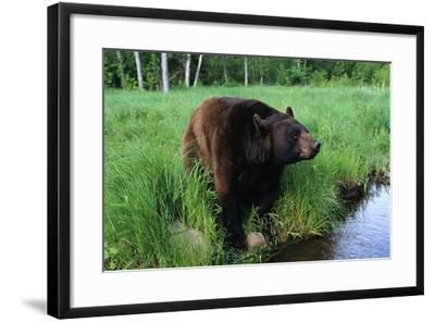 Black Bear-W^ Perry Conway-Framed Photographic Print
