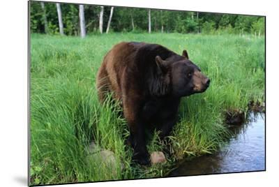 Black Bear-W^ Perry Conway-Mounted Photographic Print