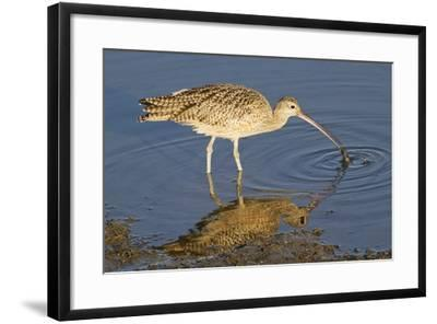 Long-Billed Curlew Catchs a Clam-Hal Beral-Framed Photographic Print