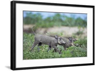 Warthog Piglets, Botswana-Richard Du Toit-Framed Photographic Print