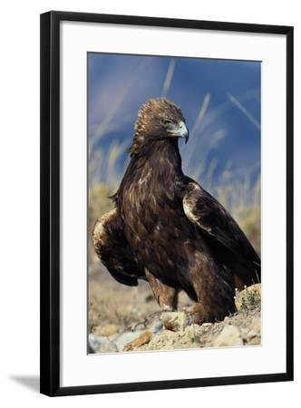 Golden Eagle Clutching Rabbit Kill-W^ Perry Conway-Framed Photographic Print