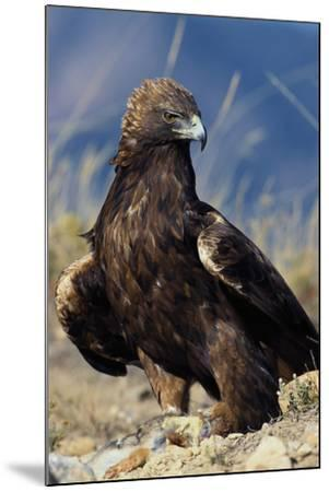 Golden Eagle Clutching Rabbit Kill-W^ Perry Conway-Mounted Photographic Print